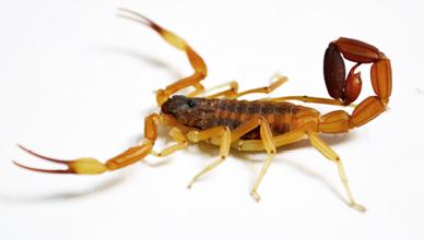 escorpionismo